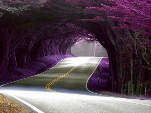 כביש עובר במנהרת עצים פורחים במחוז מנדוסינו בקליפורניה